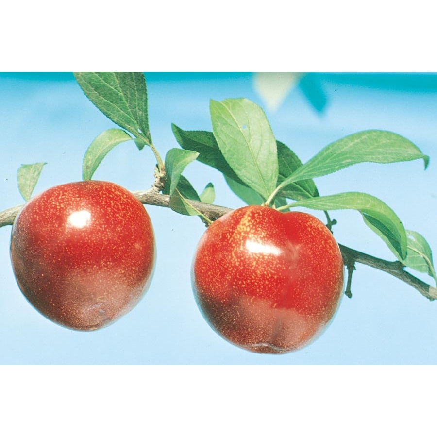 3.25-Gallon Ozark Premier Plum Tree (L1346)