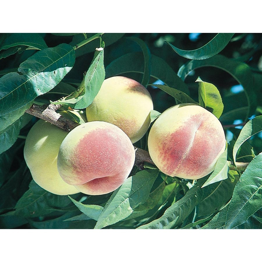 3.25-Gallon Loring Peach Tree (L1260)