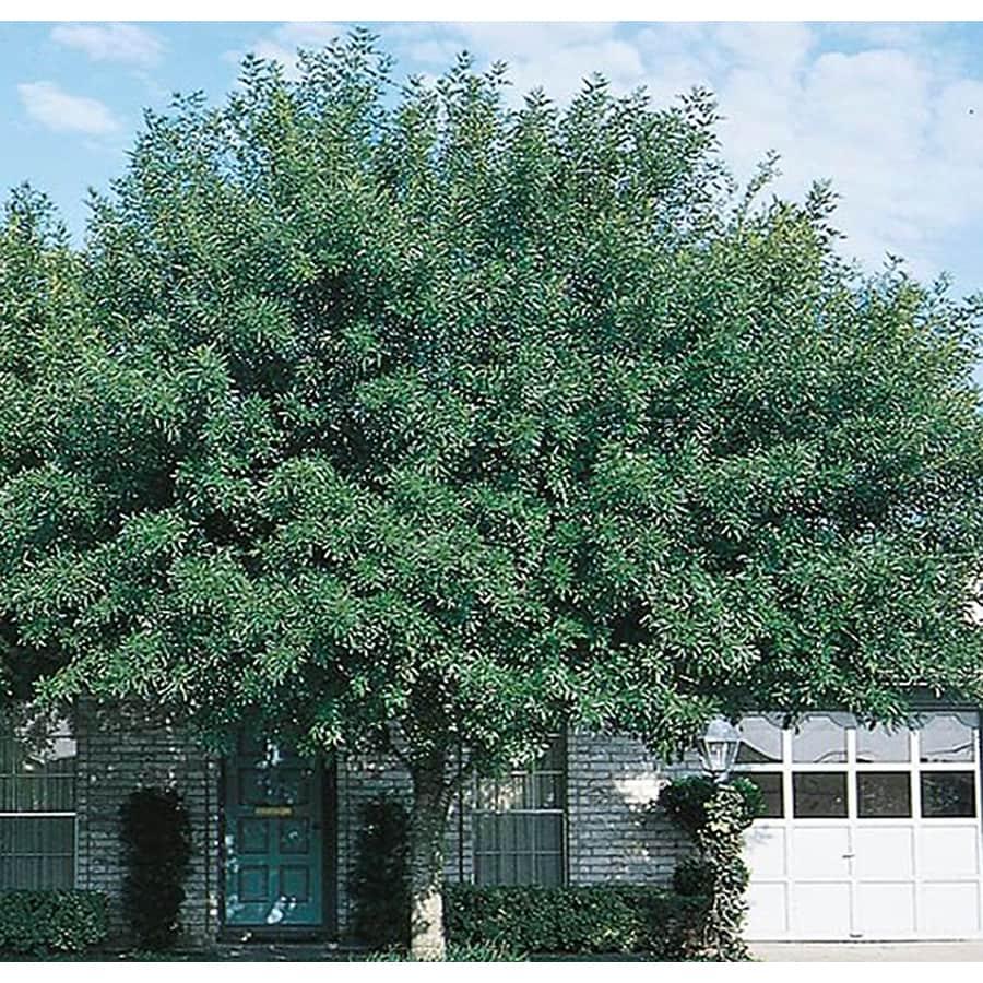 3.25-Gallon Arizona Ash Shade Tree (L3496)