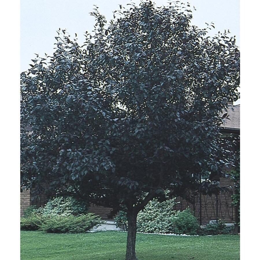 8.75-Gallon Purpleleaf Plum Flowering Tree (L1096)