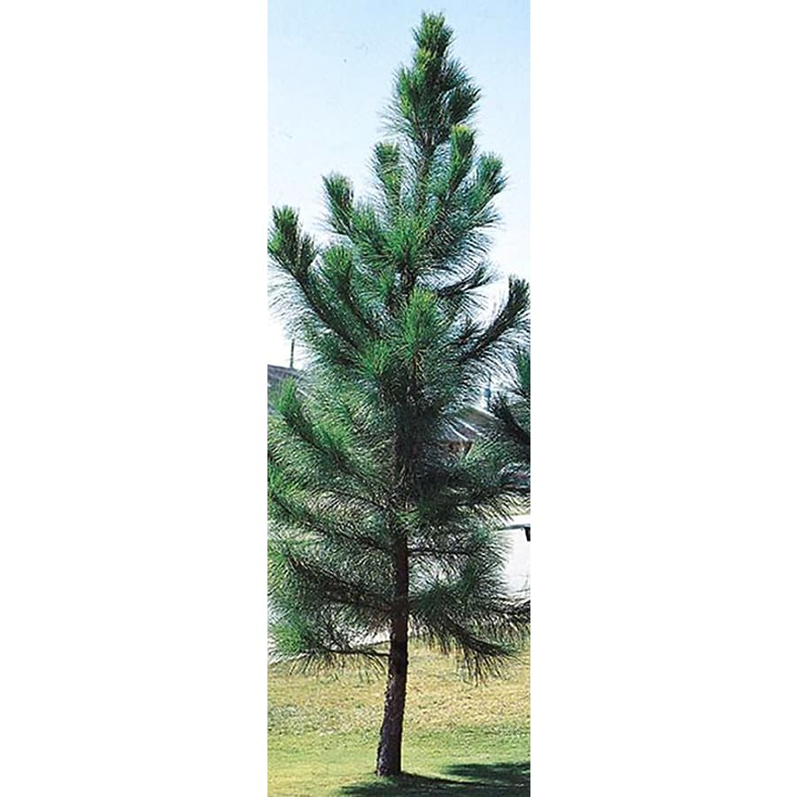 Shop slash pine shade tree l4533 at for Mature pine trees