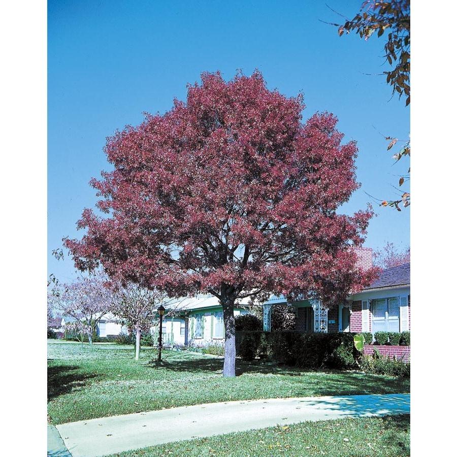 8.75-Gallon Shumard Oak Shade Tree (L1085)