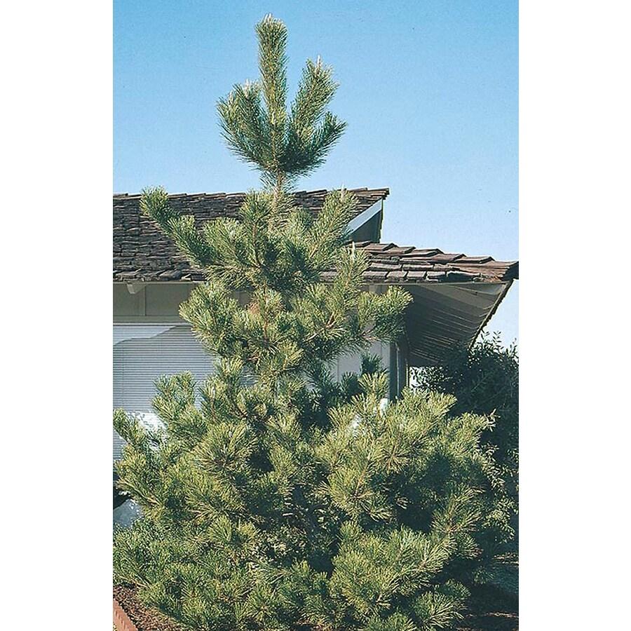 8.75-Gallon Japanese Black Pine Feature Tree (L1060)