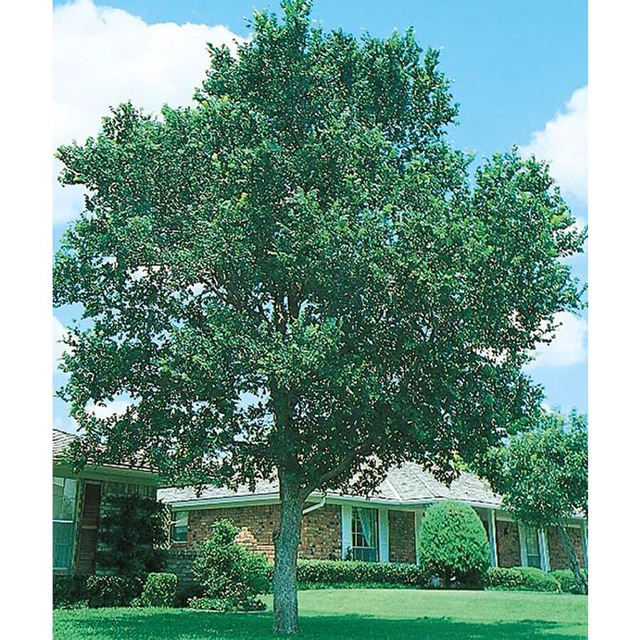 8.75-Gallon Cedar Elm Shade Tree (L1416)