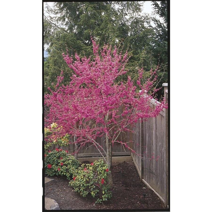 8.75-Gallon Oklahoma Redbud Flowering Tree (L1158)