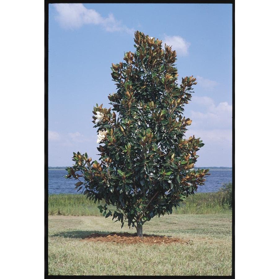 10.5-Gallon Little Gem Magnolia Flowering Tree (L1157)