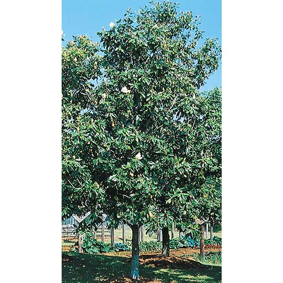 19.5-Gallon D. D. Blanchard Magnolia Flowering Tree (L1171)