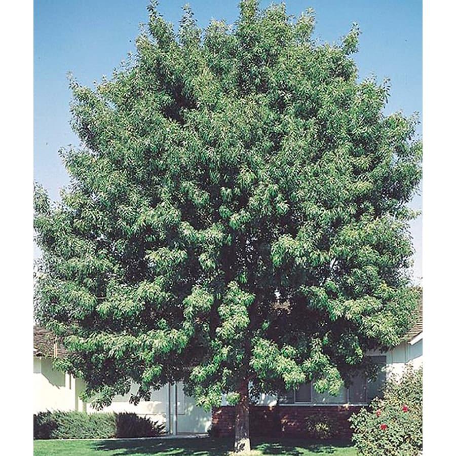 19.5-Gallon Fan-Tex Ash Shade Tree (L1051)