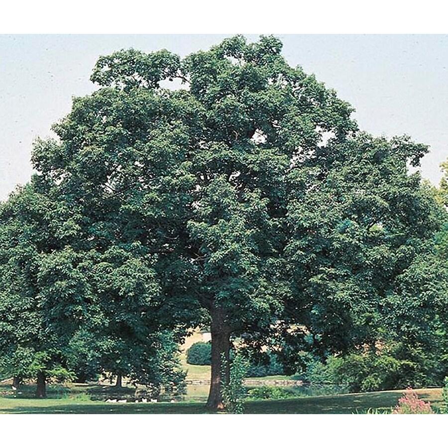 19.5-Gallon Chinquapin Oak Shade Tree (L5853)