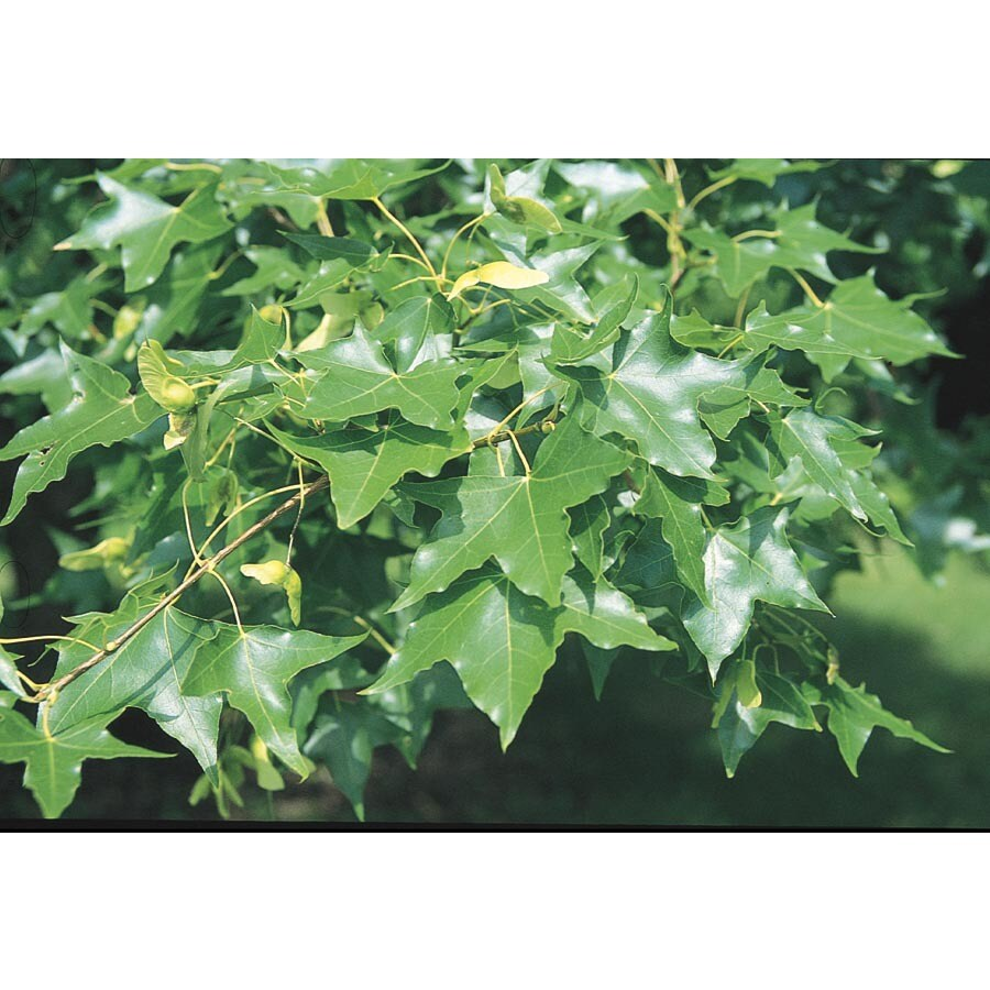 3.25-Gallon Shantung Maple Shade Tree (L6789)