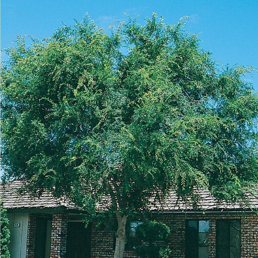 6.08-Gallon Lace Bark/Chinese Elm Shade Tree (L4376)