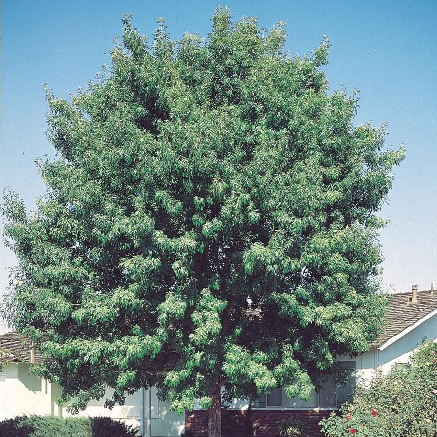 6.08-Gallon Fan-Tex Ash Shade Tree (L1051)