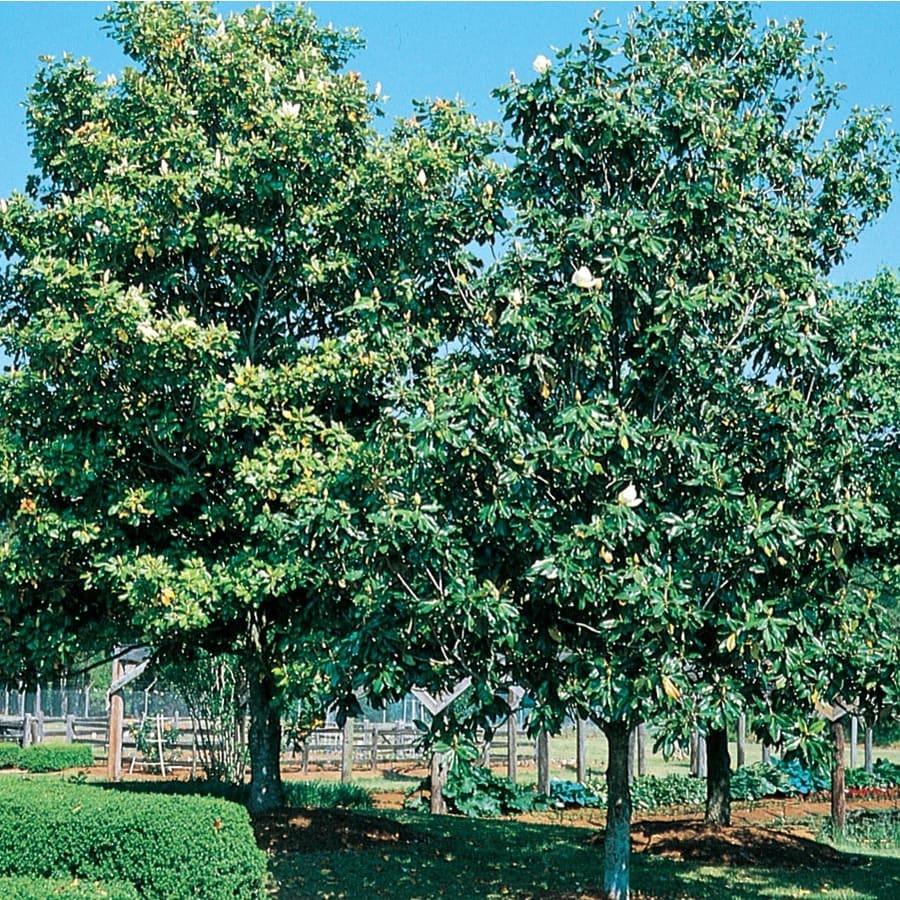 13.35-Gallon D. D. Blanchard Magnolia Flowering Tree (L1171)