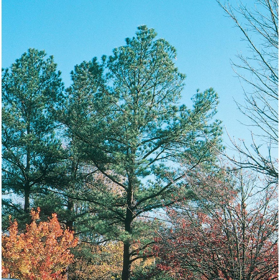 6.08-Gallon Loblolly Pine Feature Tree (L5852)