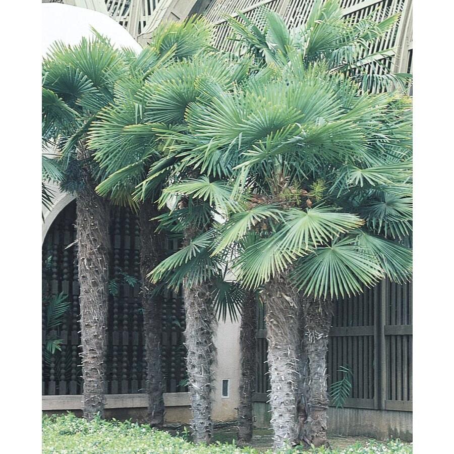 13.35-Gallon Chinese Windmill Palm (L8803)