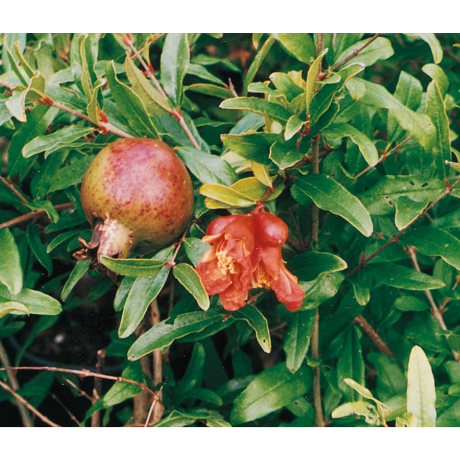 1-Gallon Pomegranate Tree (L7402)