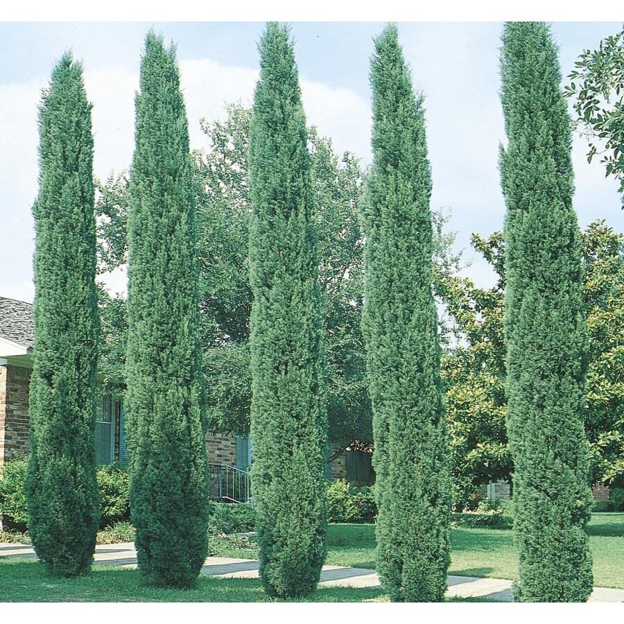Shop 13 35 Gallon Italian Cypress Feature Tree L3291 At