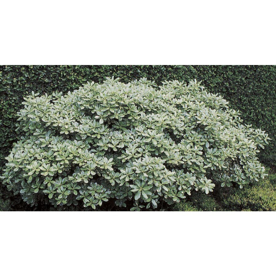 13.35-Gallon White Variegated Pittosporum Foundation/Hedge Shrub (L10907)