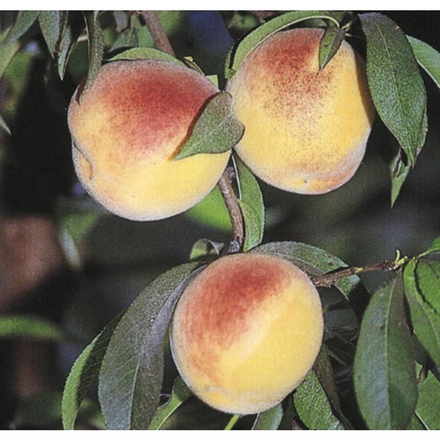 6.23-Gallon Flordaking Peach Tree (L8662)