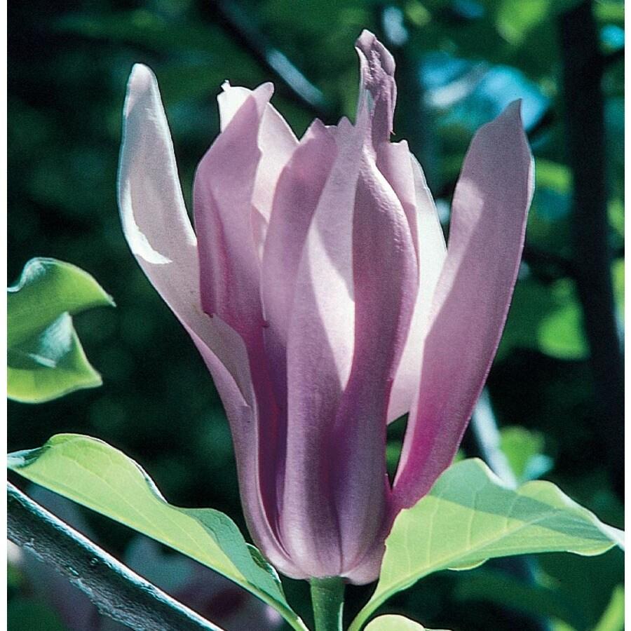 13.35-Gallon Ann Magnolia Flowering Tree (L4757)