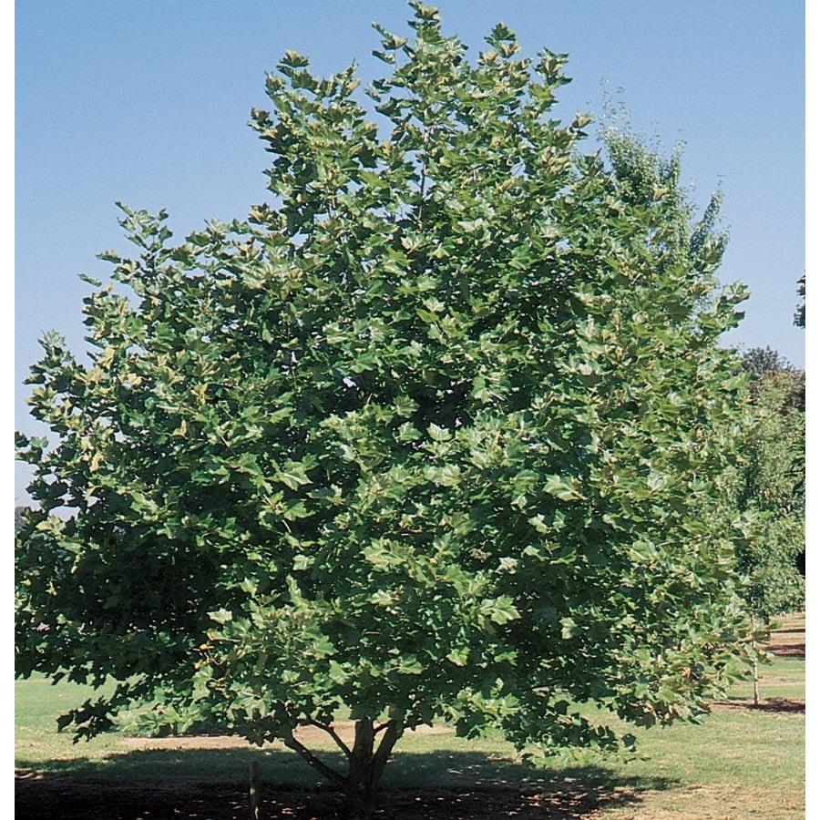 13.35-Gallon Mexican Sycamore Shade Tree (L24202)