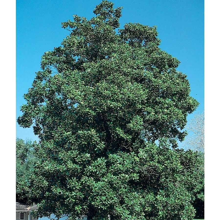 13.35-Gallon Southern Magnolia Flowering Tree (L1104)