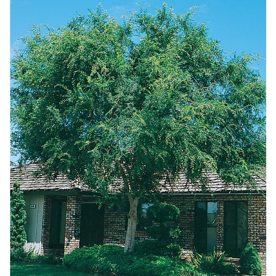 13.35-Gallon Lace Bark/Chinese Elm Shade Tree (L4376)