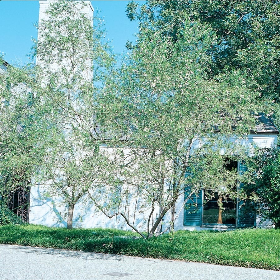 3.58-Gallon Burgundy Desert Willow Feature Tree (L8532)