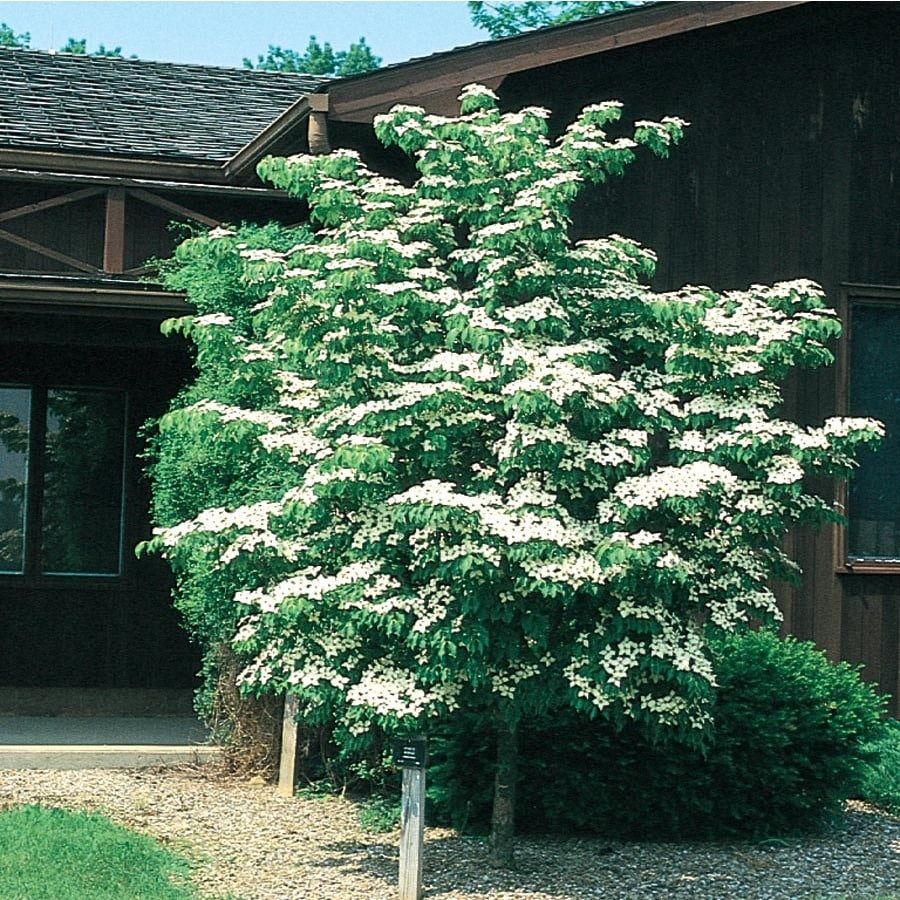8-ft Kousa Dogwood Flowering Tree (L1140)