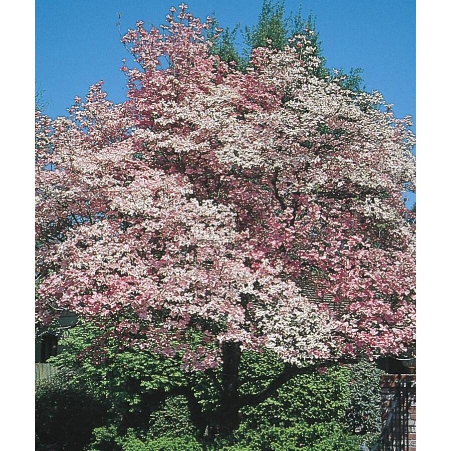 Red Flowering Dogwood Flowering Tree (L1022)