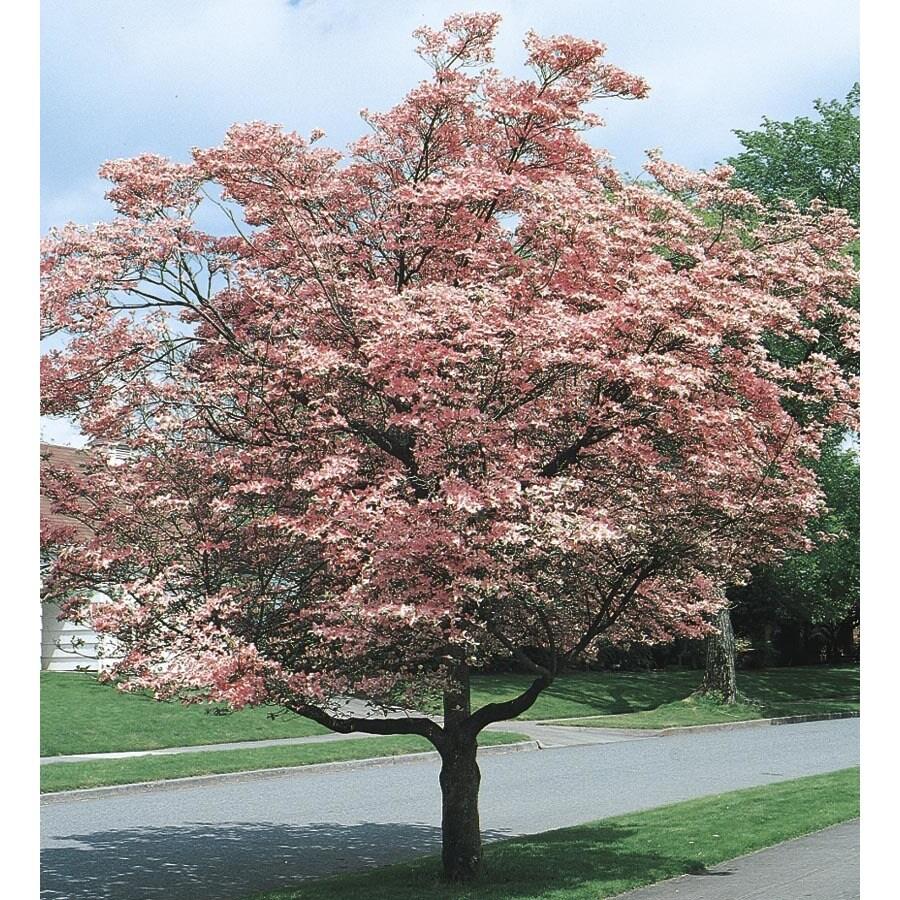 Pink Flowering Dogwood Flowering Tree (L3181)