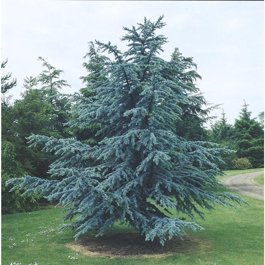 8.75-Gallon Blue Atlas Cedar Feature Tree (L4673)