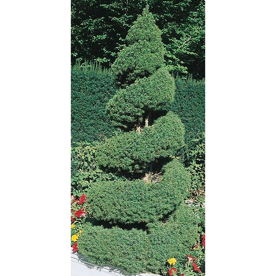 8.75-Gallon Spiral Dwarf Alberta Spruce Feature Tree (L7230)