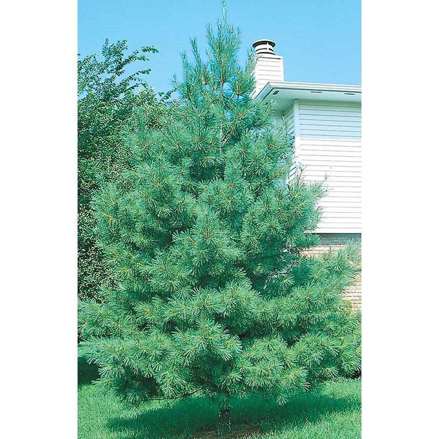 8-Gallon Eastern White Pine Screening Tree (L3619)