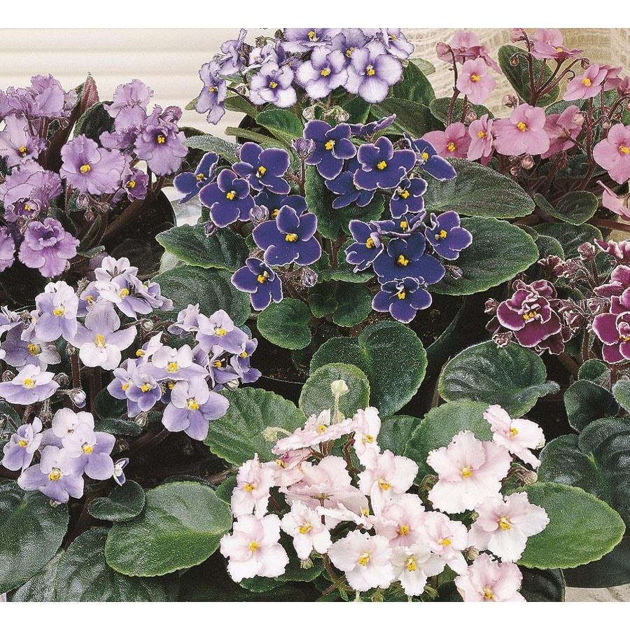 Pint African Violet (LW01547HP)