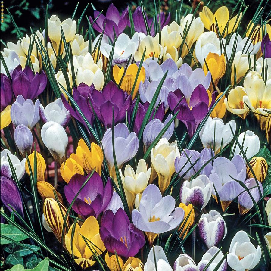 Species Crocus Barrs Purple Flower Bulbs 100