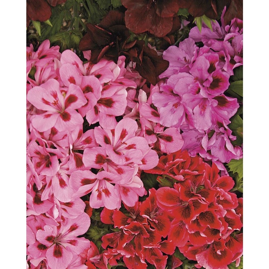1.5-Gallon Martha Washington Geranium (L9583)