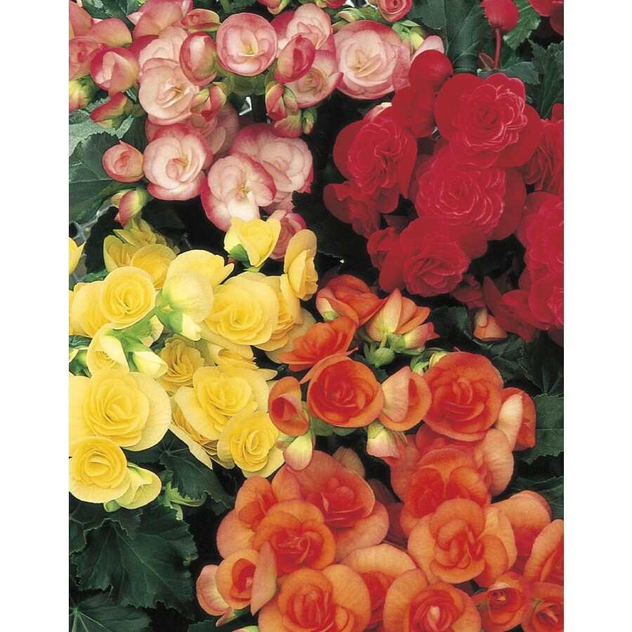 6-in Rieger Begonia (L9387)