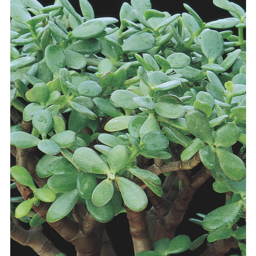11-oz Pink Jade Plant Feature Shrub (LW03223)