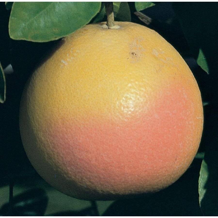 2.25-Gallon Semi-Dwarf Grapefruit Tree (L11376)