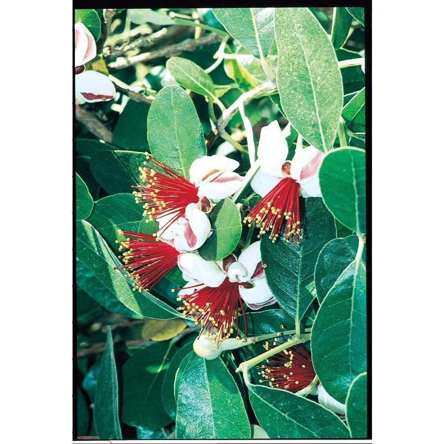 3.25-Gallon Pineapple Guava Small Fruit (L7511)