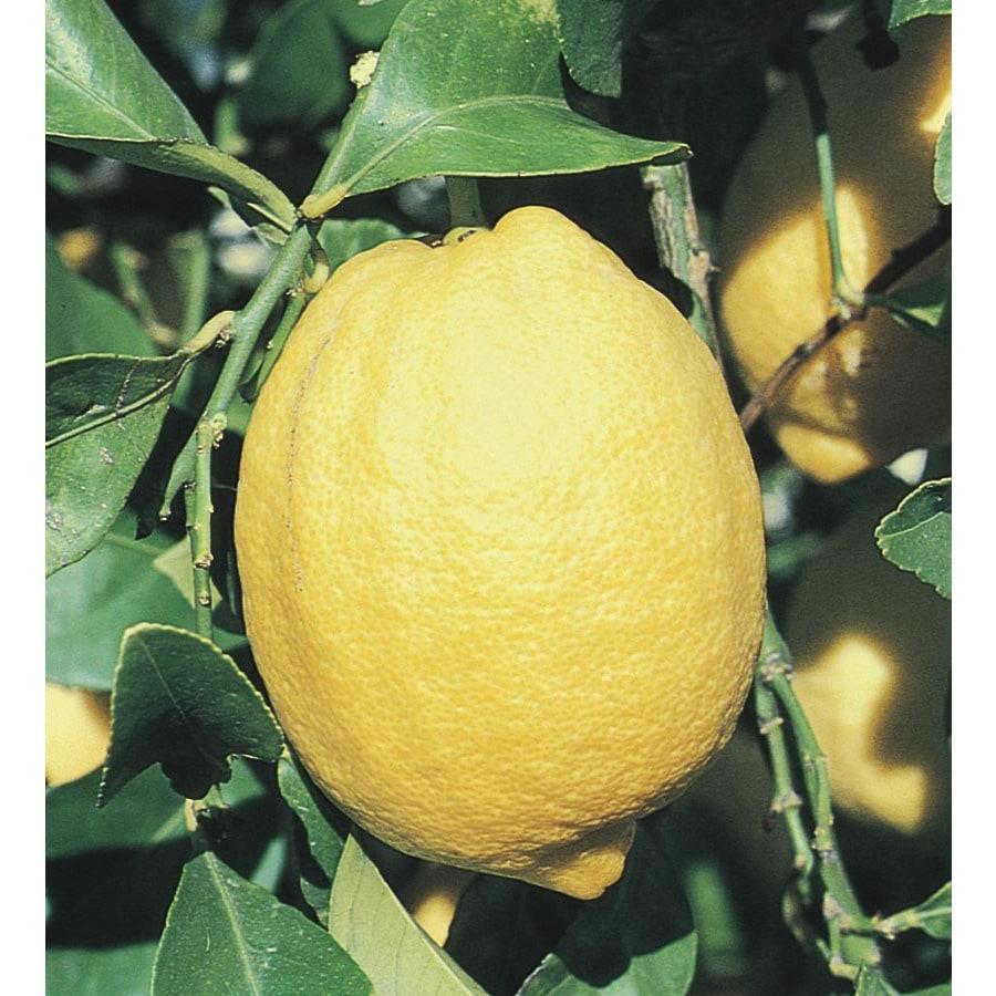 3.25-Gallon Lemon Tree (L11375)