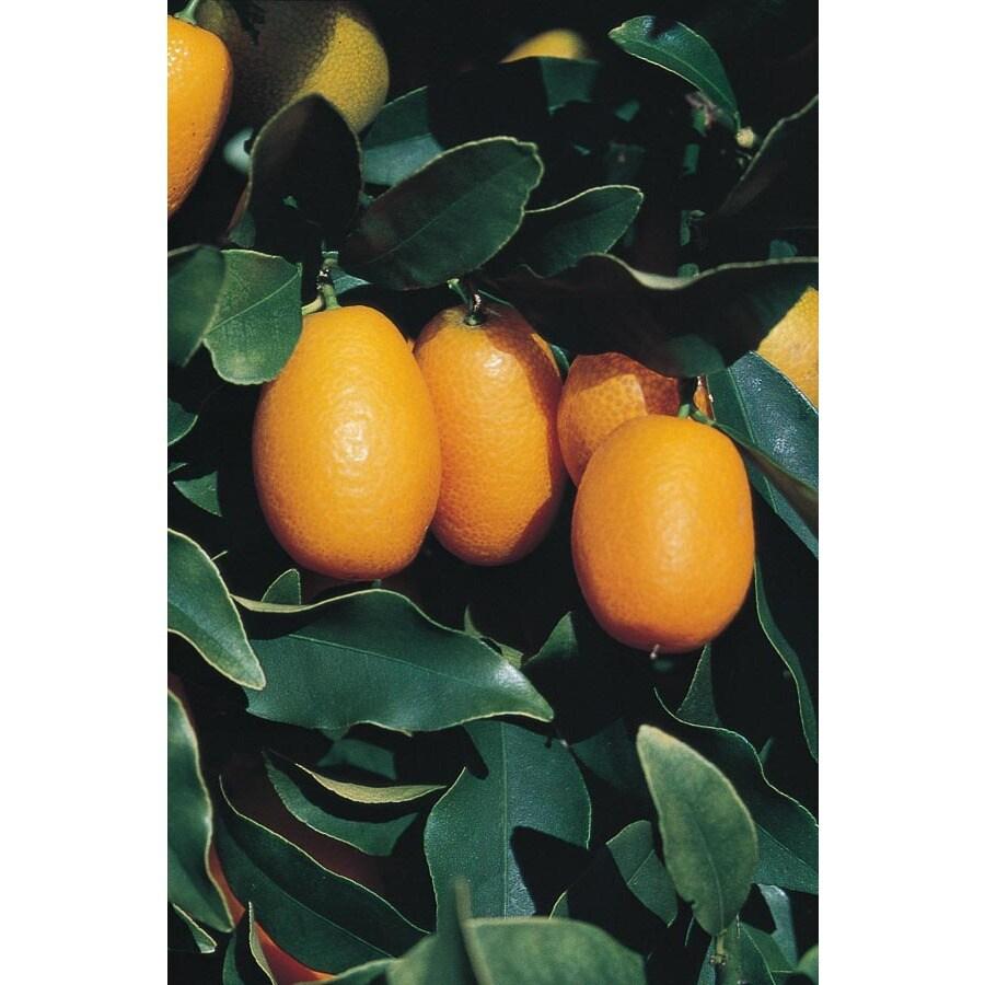 3.25-Gallon Dwarf Kumquat Tree (LW04089)