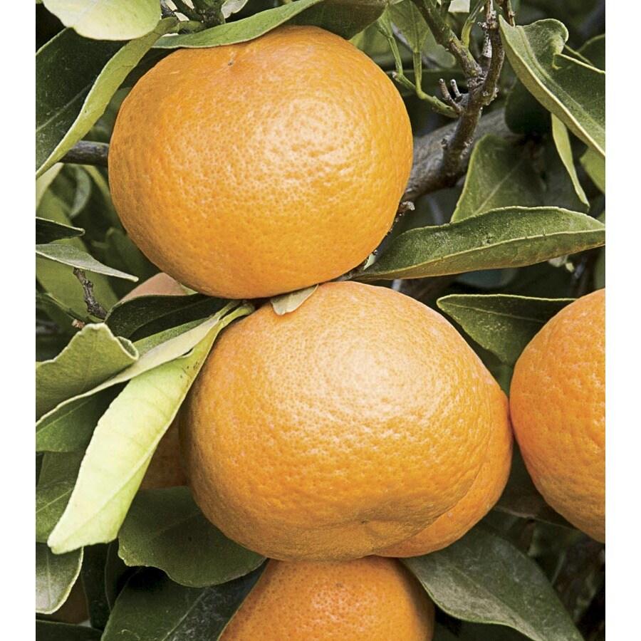 7-Gallon Dwarf Mandarin Tree (LW04260)