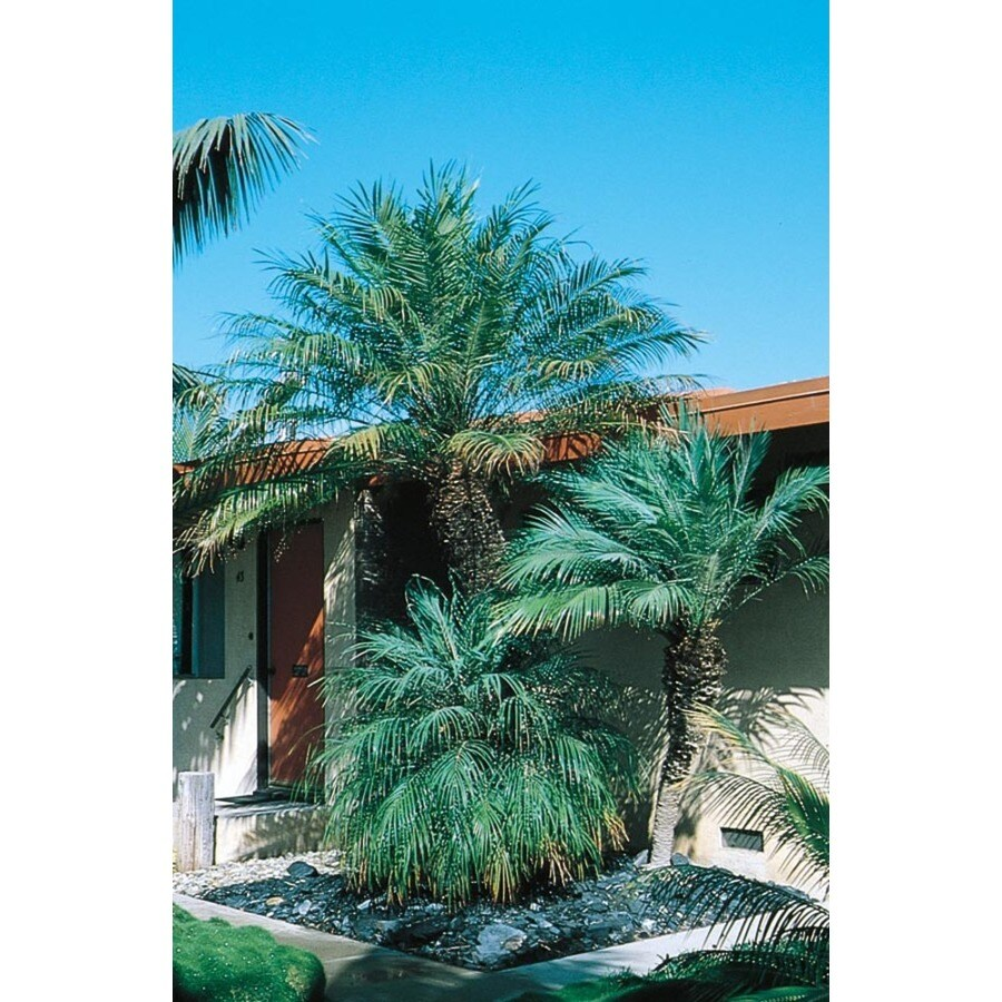 26-Gallon Pygmy Date Palm (L7542)