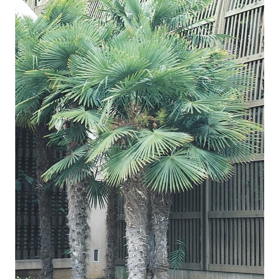 6.5-Gallon Chinese Windmill Palm (L8803)