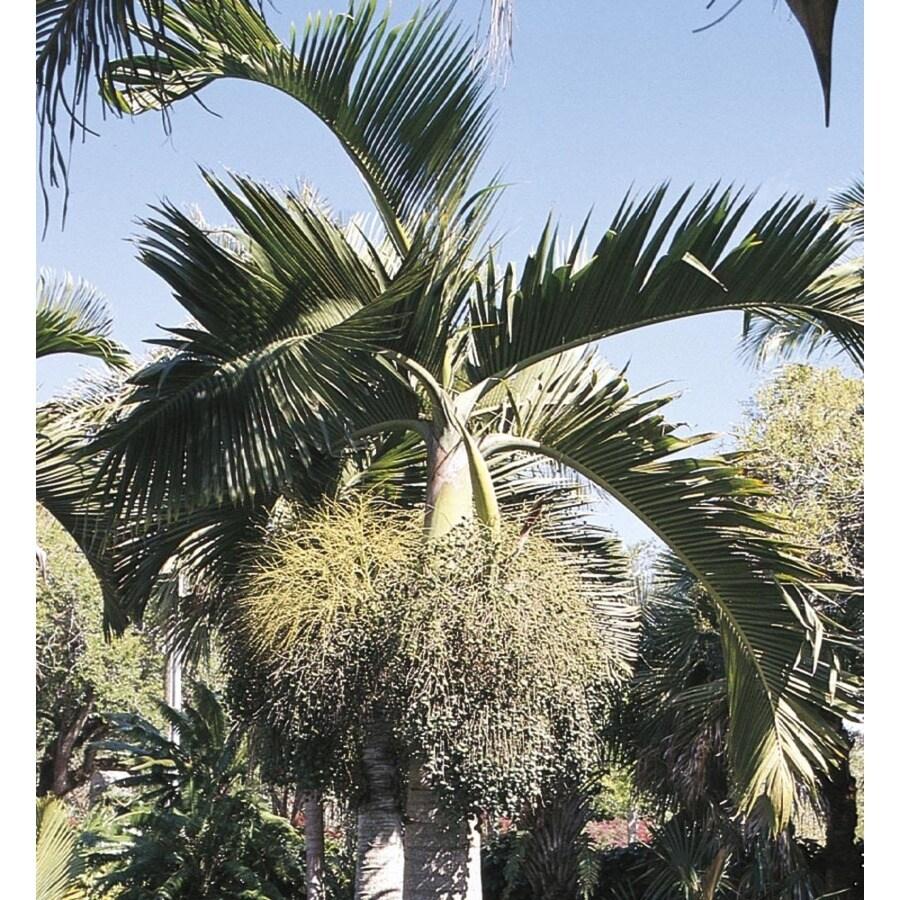 26-Gallon Bottle Palm (L14512)
