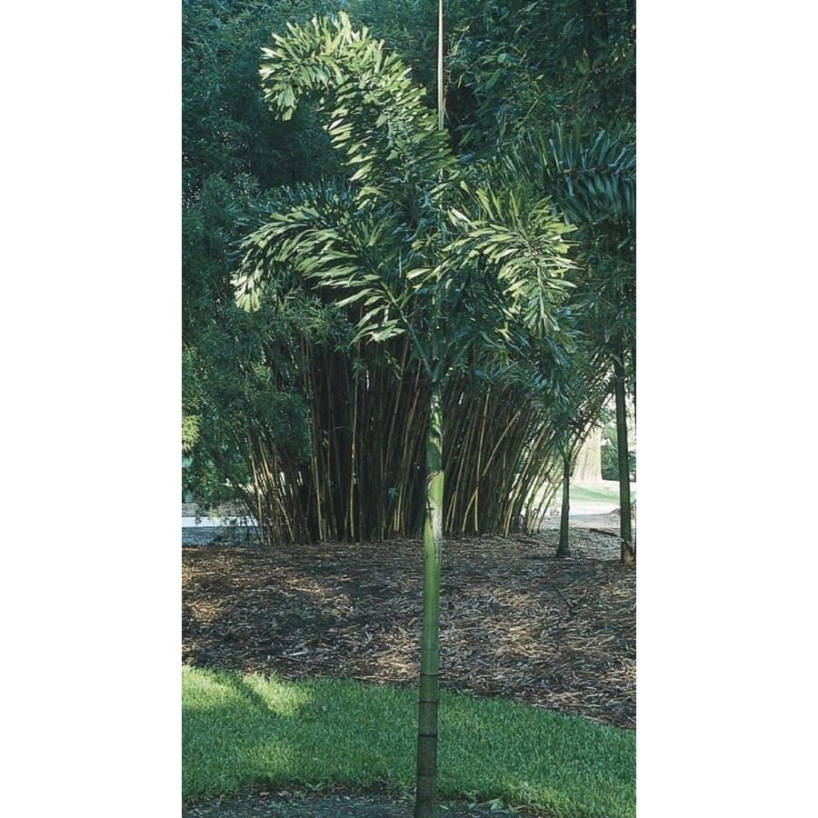 6.5-Gallon Foxtail Palm (L14531)