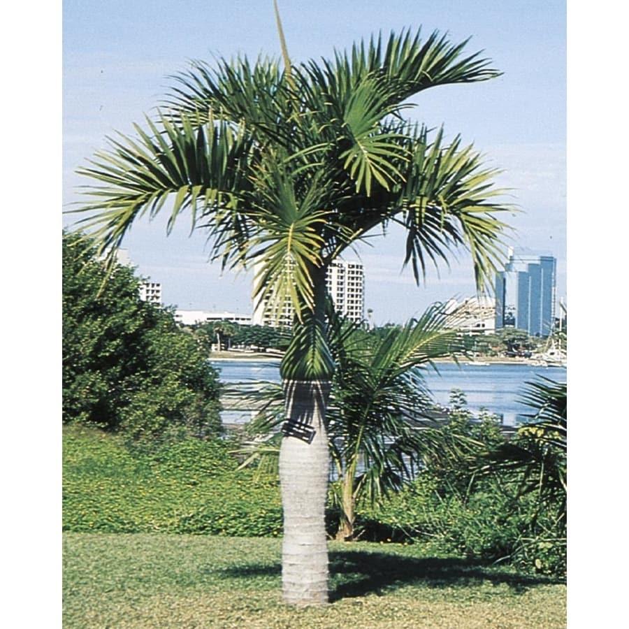 14-Gallon Spindle Palm (L11094)