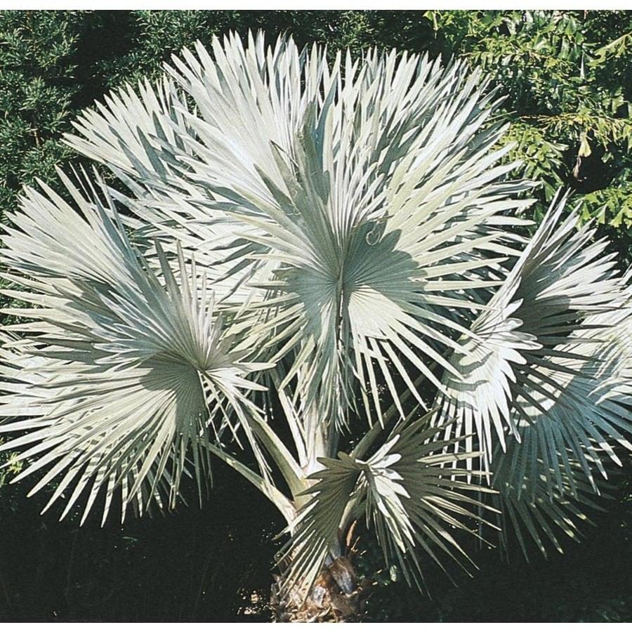 14-Gallon Bismarckia Palm (L14163)